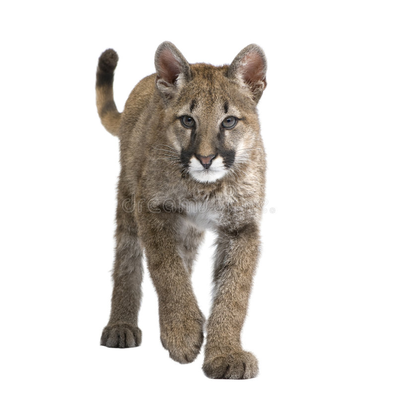 Download Puma Cub - Puma Concolor (3,5 Months) Royalty Free Stock Photos - Image: 6855938