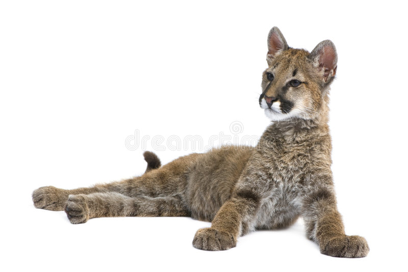 Download Puma Cub - Puma Concolor (3,5 Months) Stock Photo - Image: 8717786