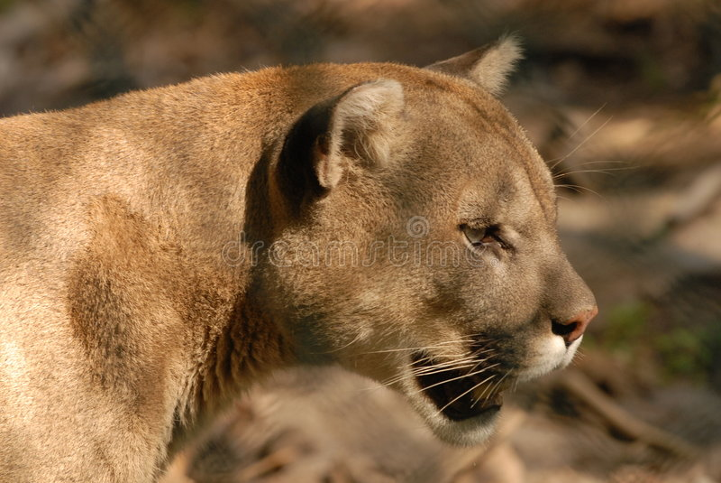 Puma curieux image stock