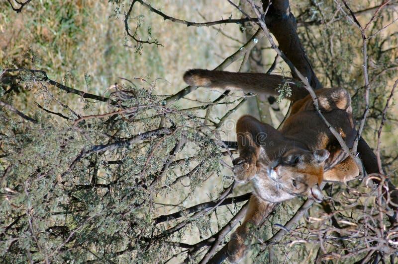 Puma dans l'arbre. photographie stock