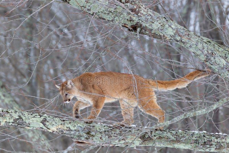 Puma dans l'arbre images stock