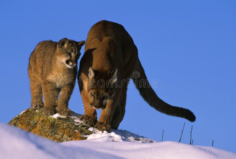 Puma, Das Ihrem Cub Unterrichtet, Wie Man Jagt Lizenzfreie Stockbilder