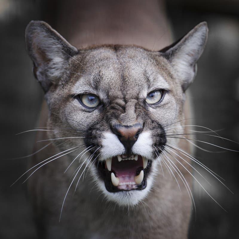 Puma de grondement photo libre de droits