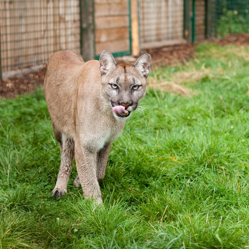 Puma de vagabundeo que lame los labios en recinto fotografía de archivo libre de regalías