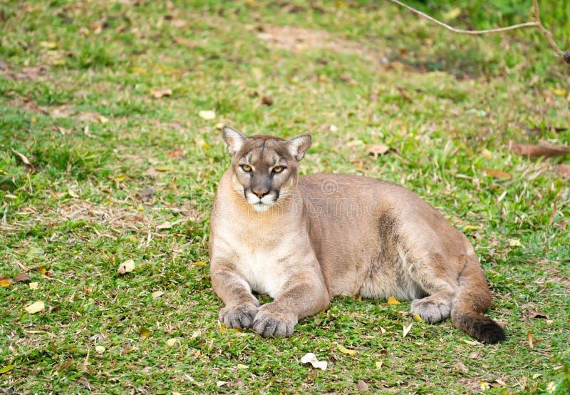 Puma, der auf grünem Gras stillsteht stockfotografie