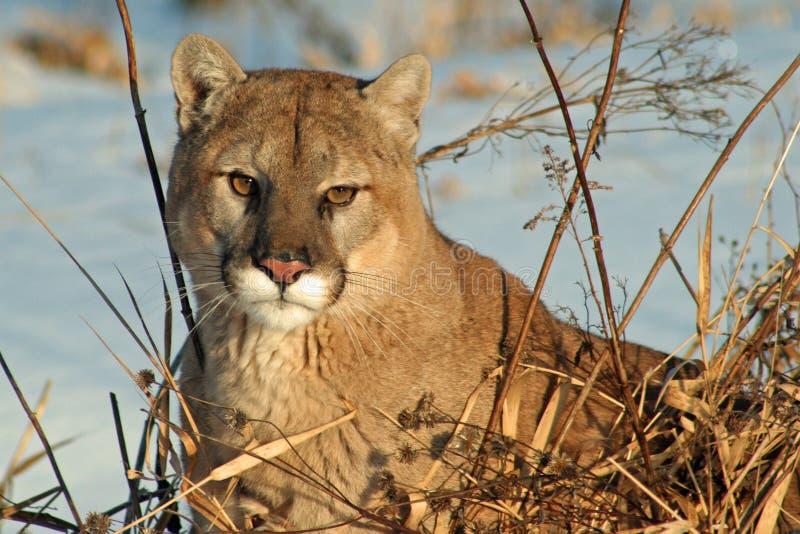 Puma, der in der Wintersonne sich entspannt stockfotos