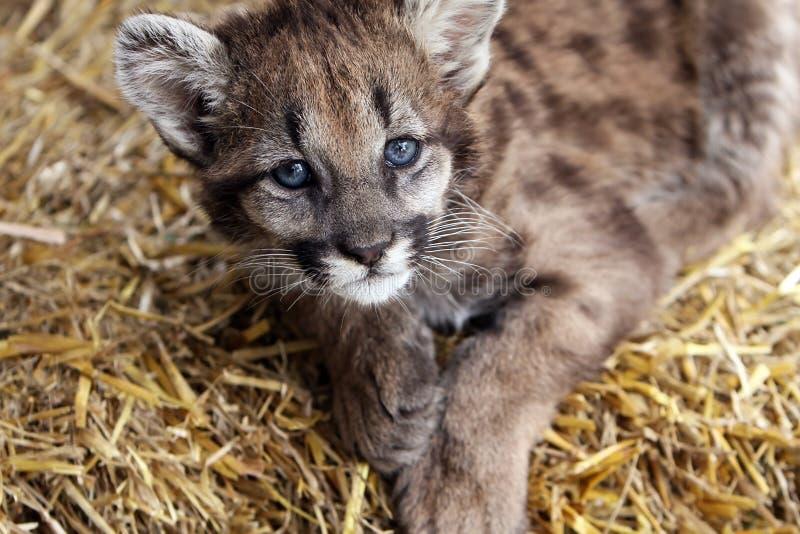 Puma do bebê imagem de stock royalty free