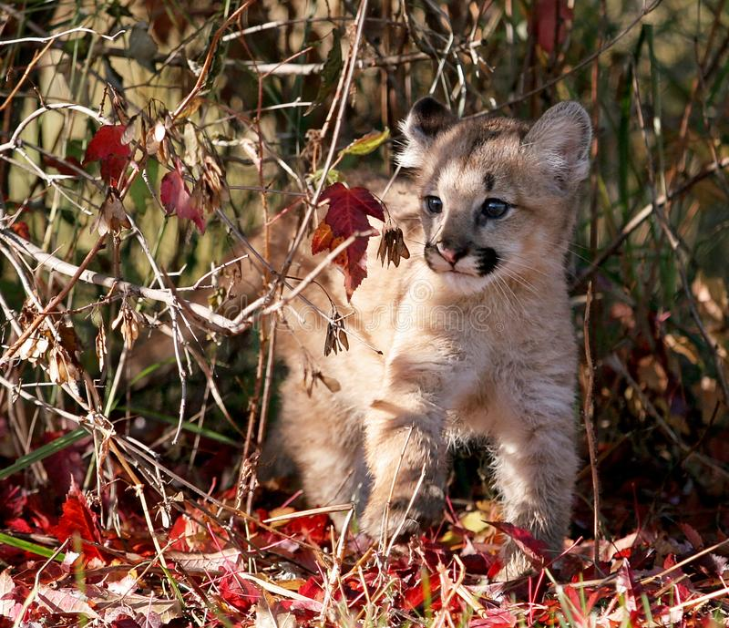 Puma do bebê, leão de montanha, ou puma fotografia de stock