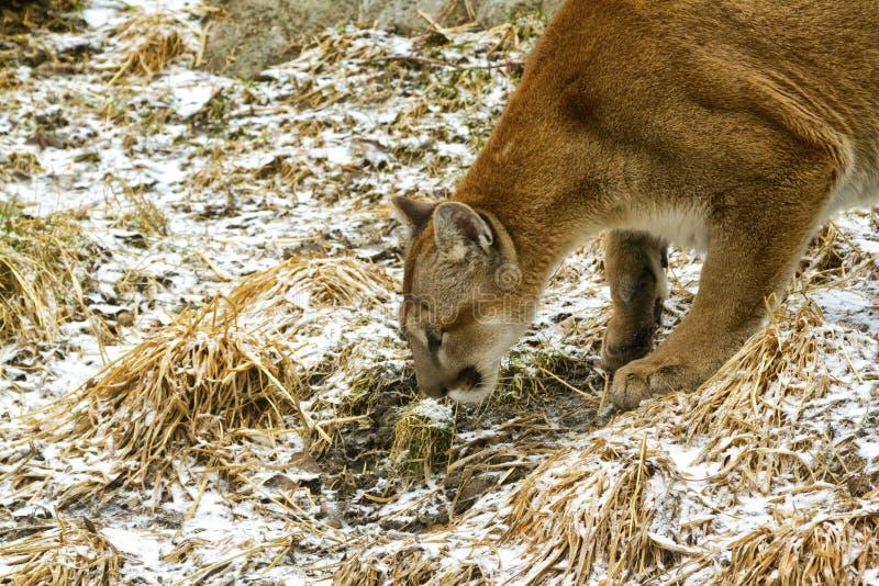 Puma en el vagabundeo fotografía de archivo libre de regalías