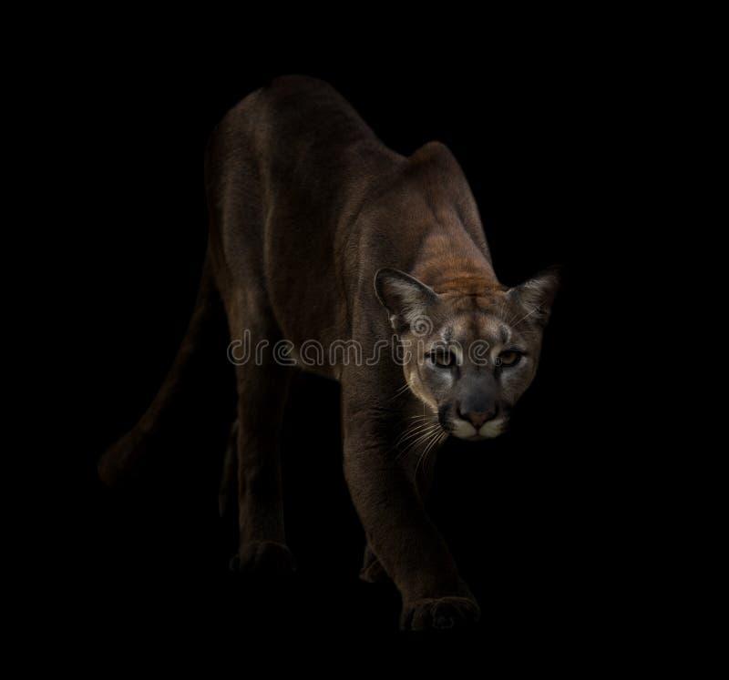 Puma en la oscuridad imagen de archivo