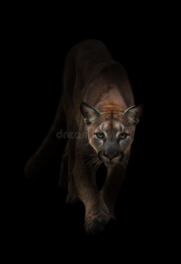 Puma en la oscuridad fotografía de archivo