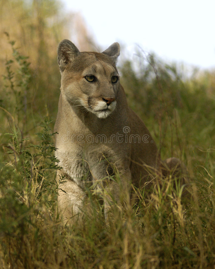 Puma in erba fotografie stock