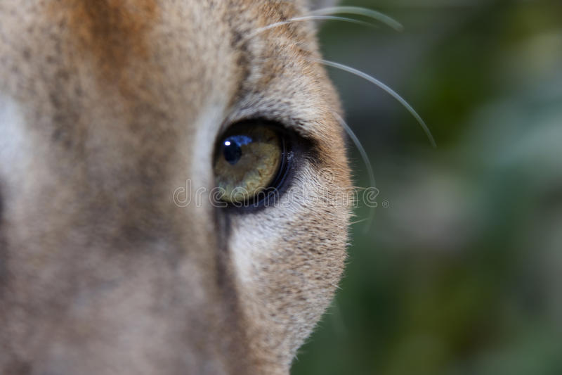 Download Puma Eye stock photo. Image of wild, cougar, elusive, wildcat - 9382968