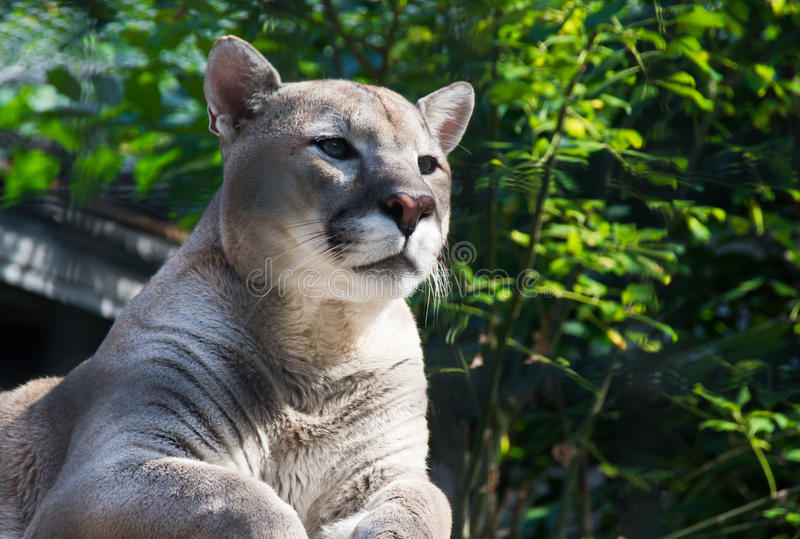 Puma fêmea entre os arbustos verdes imagem de stock
