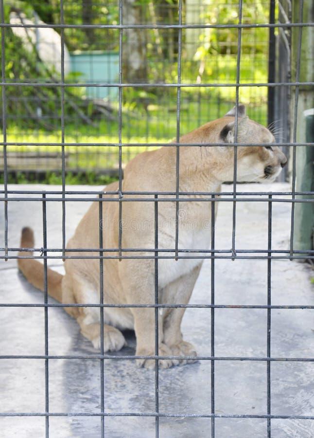 Puma i en bur arkivfoton
