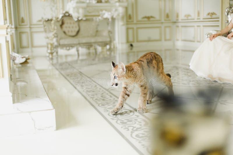 Puma i en luxuriös inre Puma - ett rovdjur av släktet Puma feline arkivbild