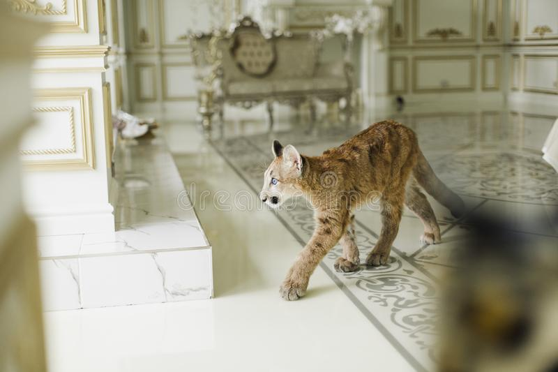 Puma i en luxuriös inre Puma - ett rovdjur av släktet Puma feline royaltyfria bilder