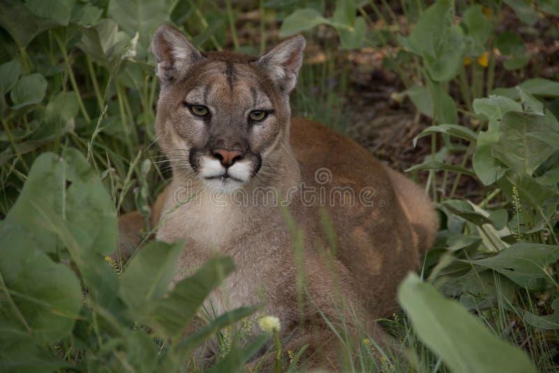 Puma i gräs royaltyfri fotografi