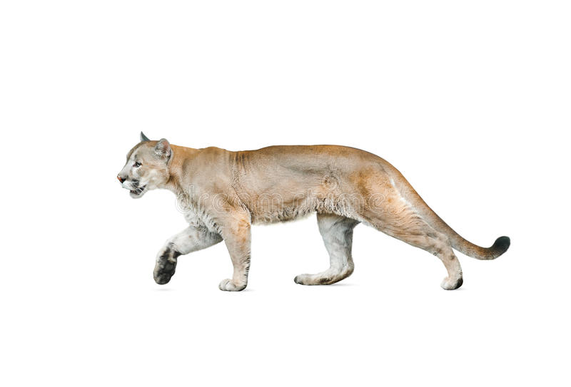 Puma isolado sobre um fundo branco imagem de stock royalty free