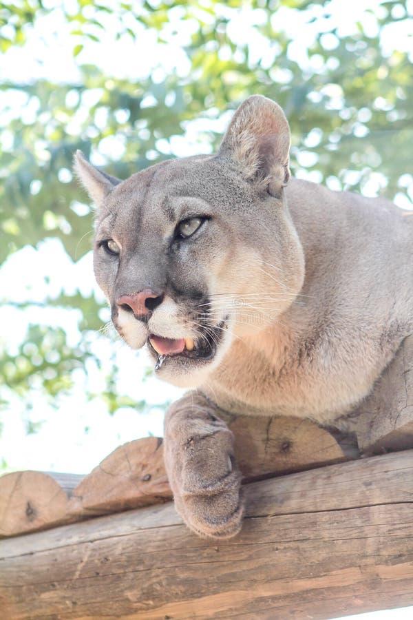 Puma puma, kuguar royaltyfria bilder