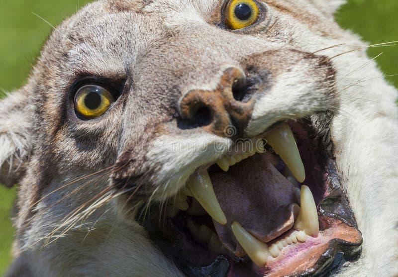 Puma, leão de montanha norte-americano, puma Concolor fotos de stock