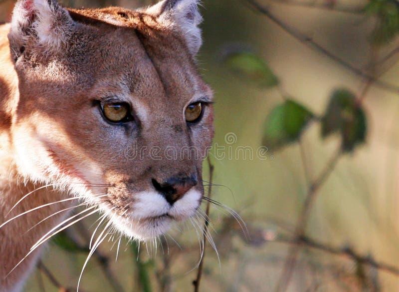 Puma, leão de montanha, ou puma imagens de stock royalty free