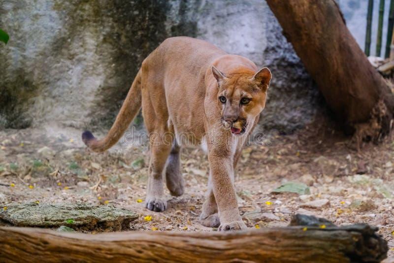 Puma masculino adulto fotografía de archivo
