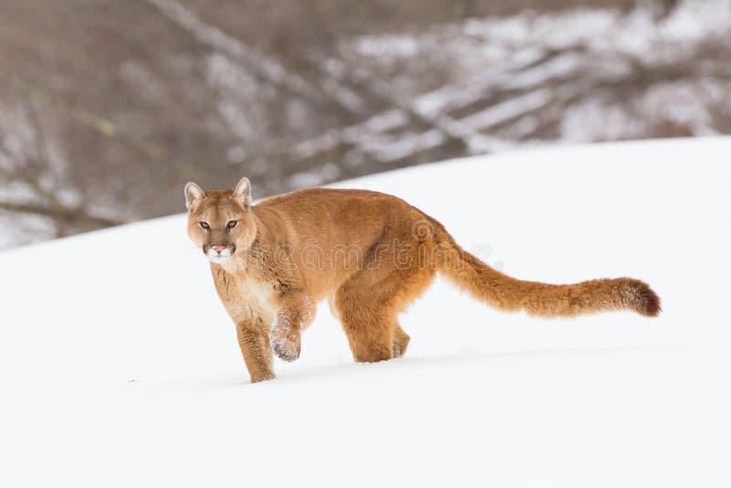 Puma med den långa svansen arkivfoto