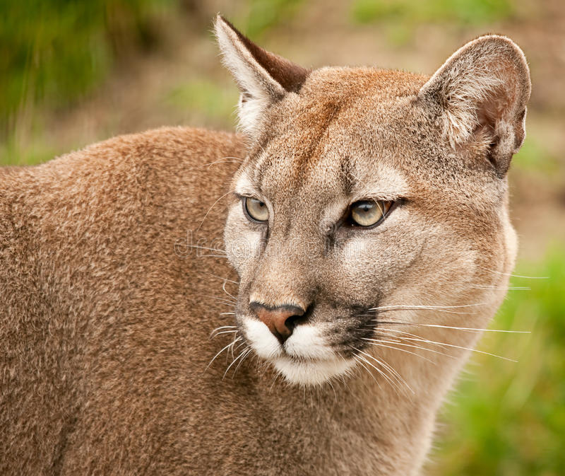 Download Puma mountain lion cougar stock image. Image of river - 13604355