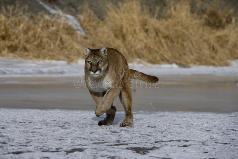 Puma or Mountain lion, Puma concolor. Single cat in snow, captive stock image