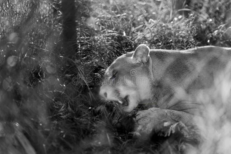 Puma na ação fotos de stock