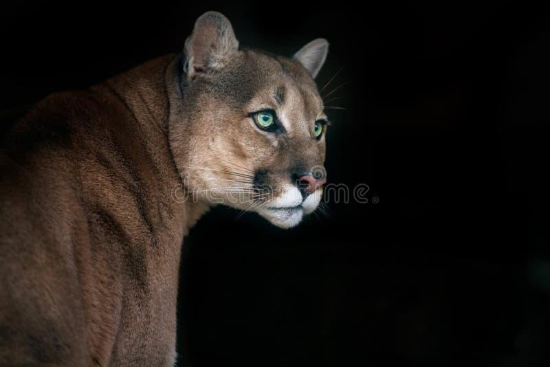 Puma na czerni fotografia royalty free