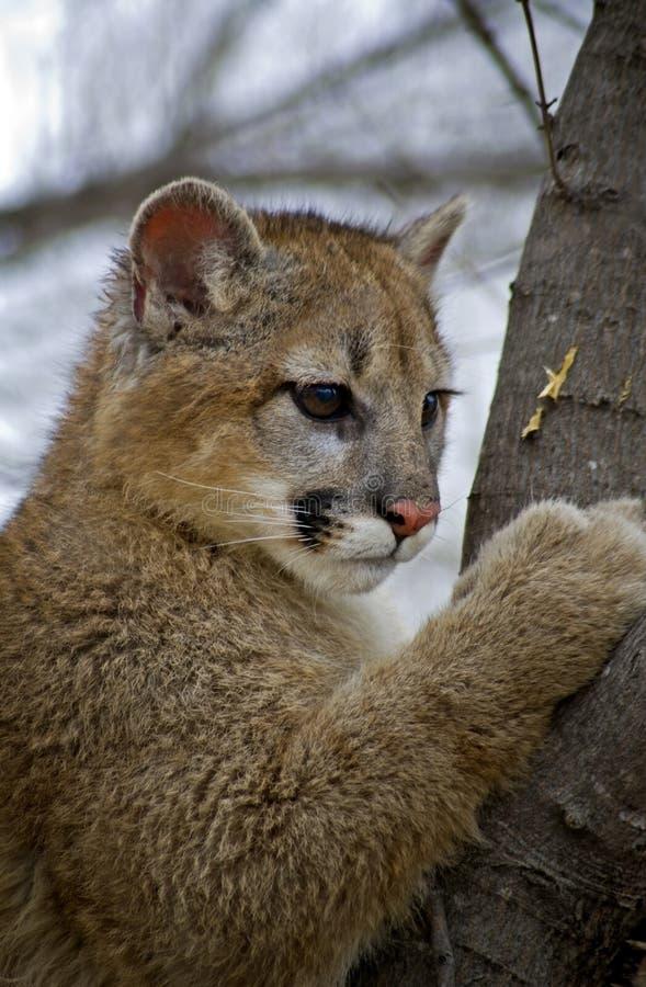Puma novo (Felis Concolor) na árvore fotografia de stock royalty free