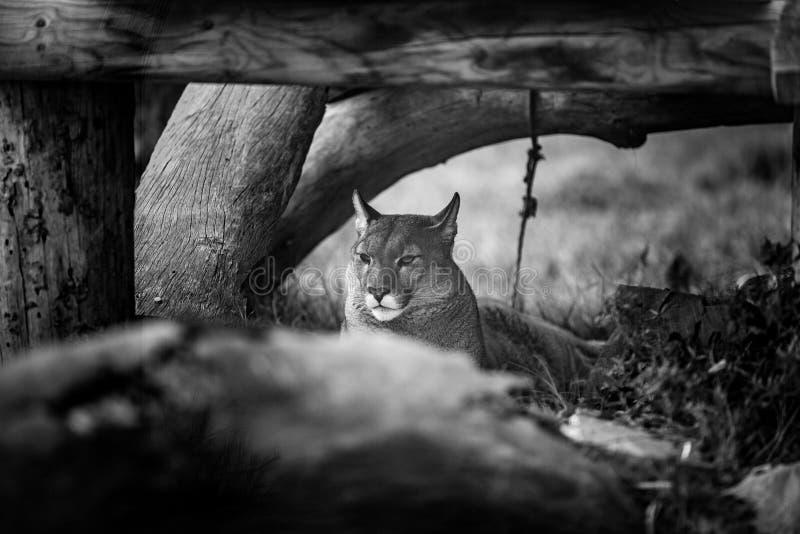 Puma novo que descansa sob a árvore, fim acima em preto e branco imagens de stock