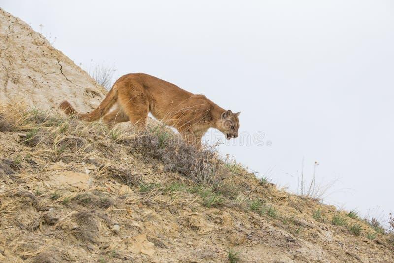 Puma på jakt arkivfoton