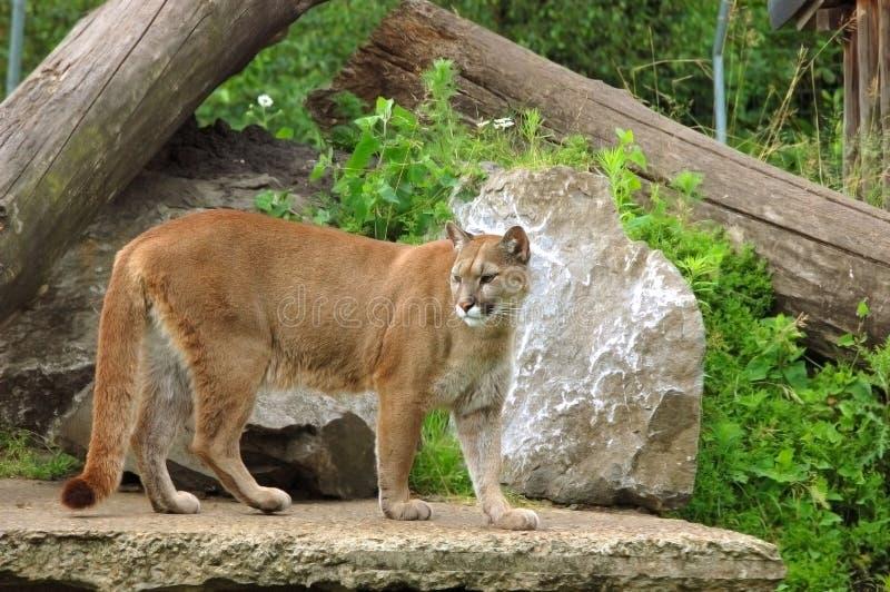 Puma, puma. fotos de archivo libres de regalías
