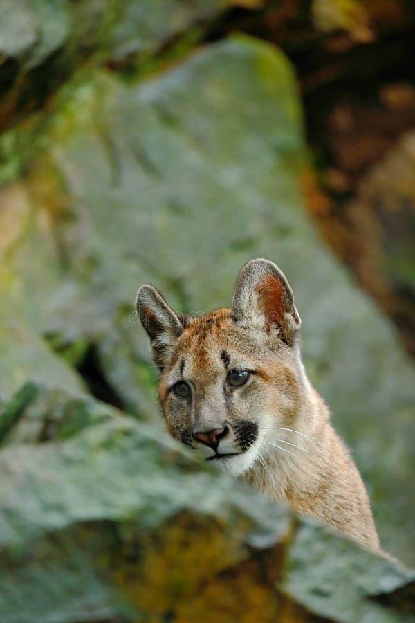 Puma, Puma concolor, verstecktes Porträtgefahrentier mit Stein lizenzfreie stockfotos