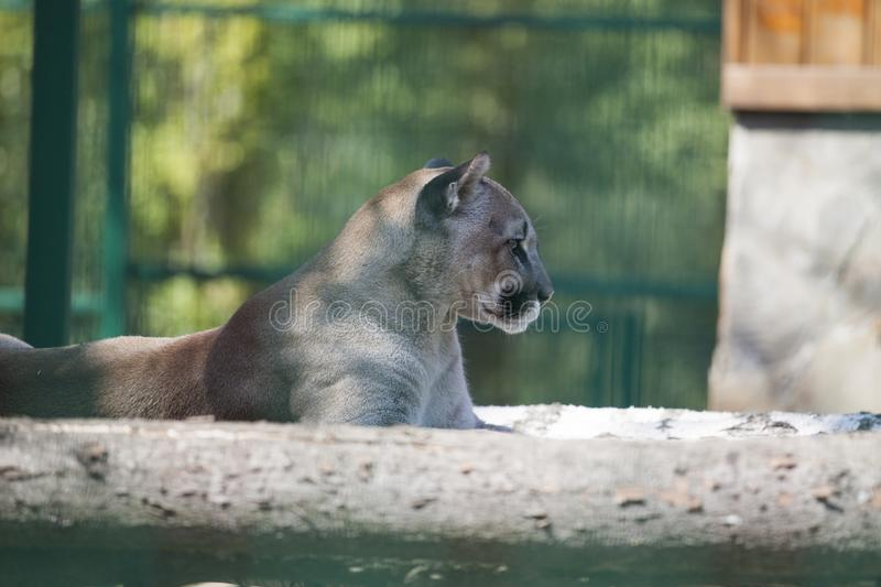 Puma, Pumaporträt auf grünem Hintergrund stockfotografie