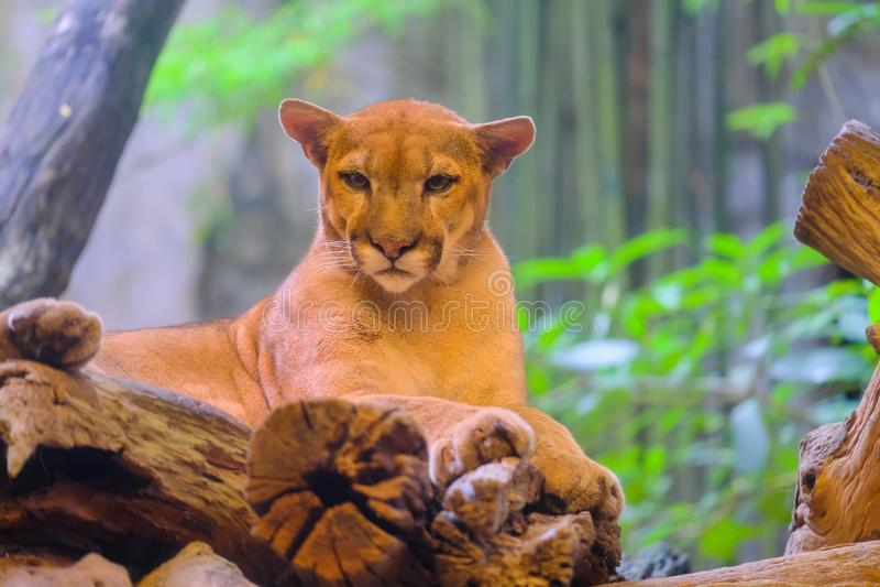 Puma, Pumaporträt-Lichthintergrund stockbilder