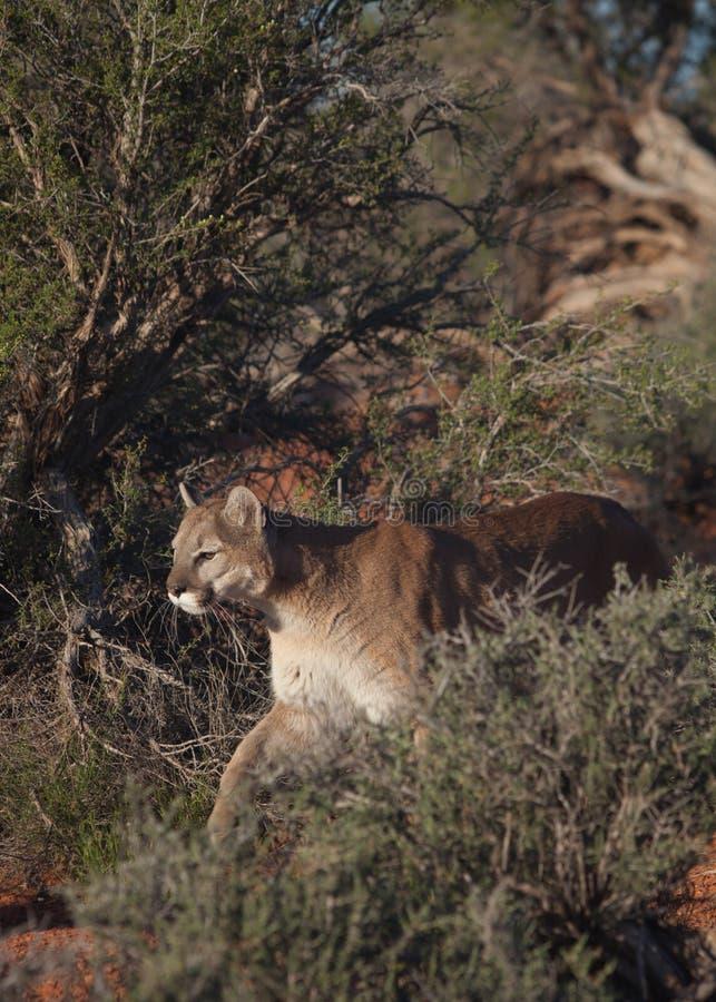 Puma que anda entre arbustos do deserto imagem de stock royalty free