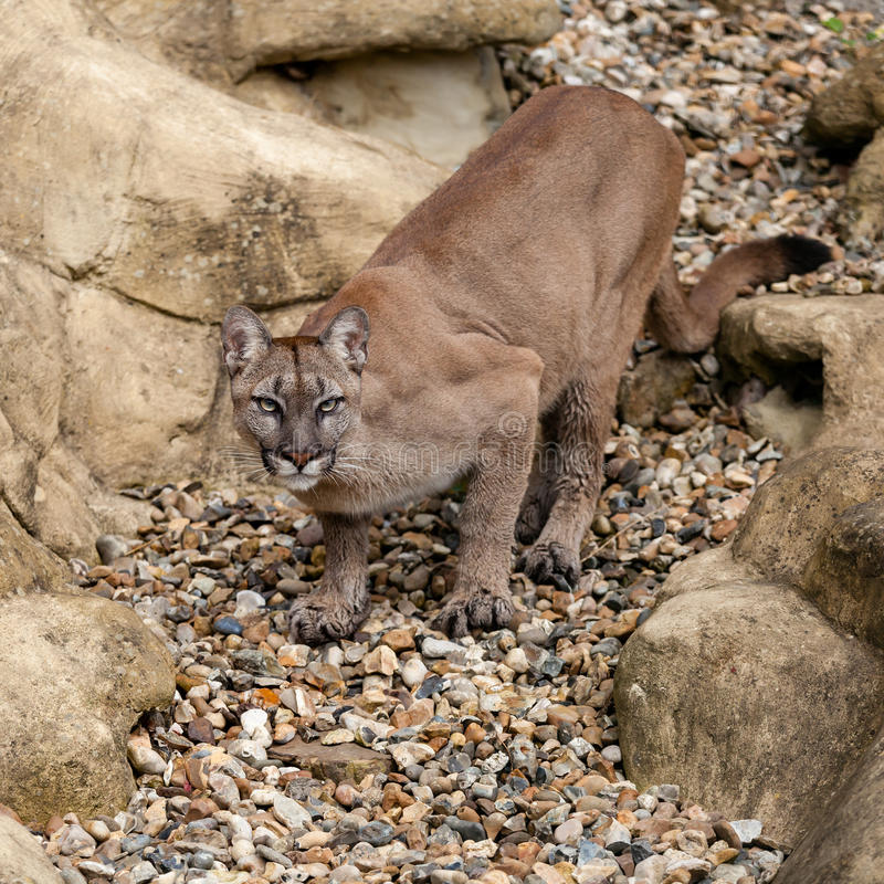 Download Puma On Rock Crouching Ready To Pounce Stock Photography - Image: 26420702