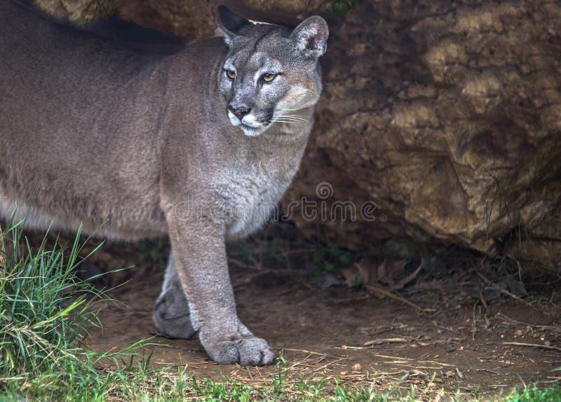 Puma selvagem, puma, leão de montanha na caverna da selva foto de stock