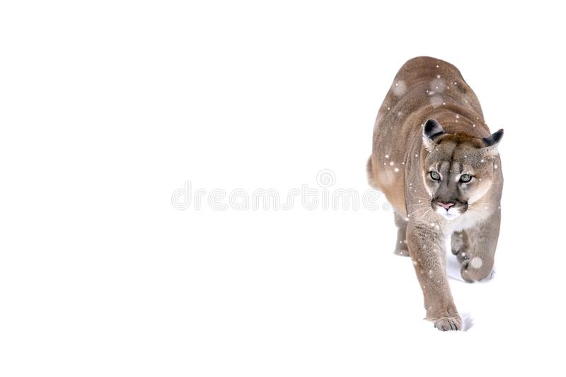 Canadian cougar on a white background. Puma in the snow, snowfall is coming. First snow. Coldly. Winter royalty free stock photo