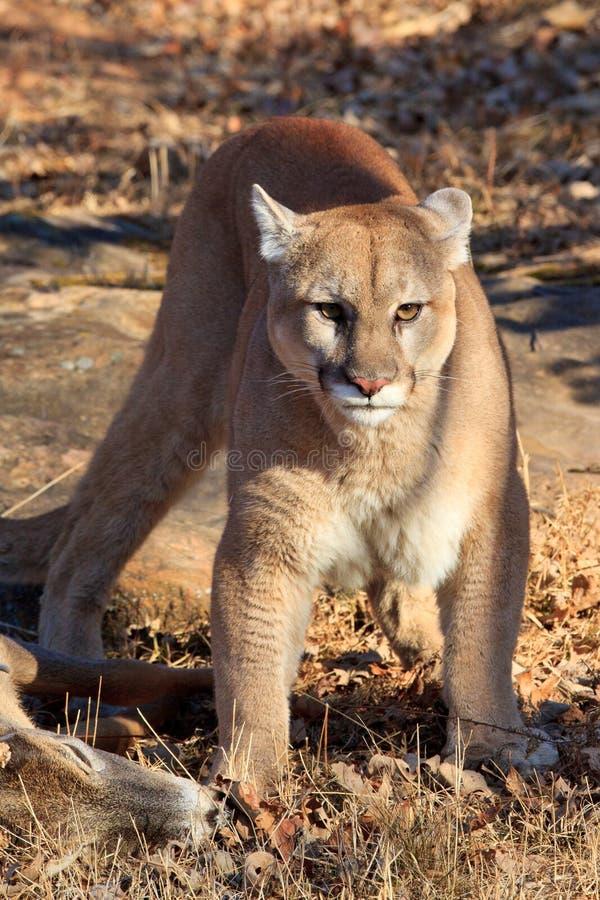 Puma som bevakar nytt byte arkivbild