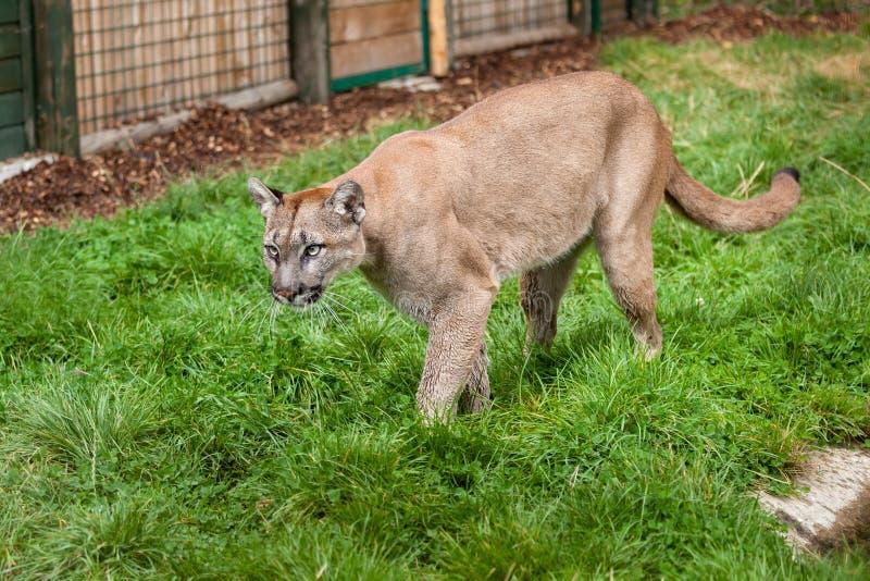 Puma Som Förföljer Till Och Med Bilaga Royaltyfri Foto