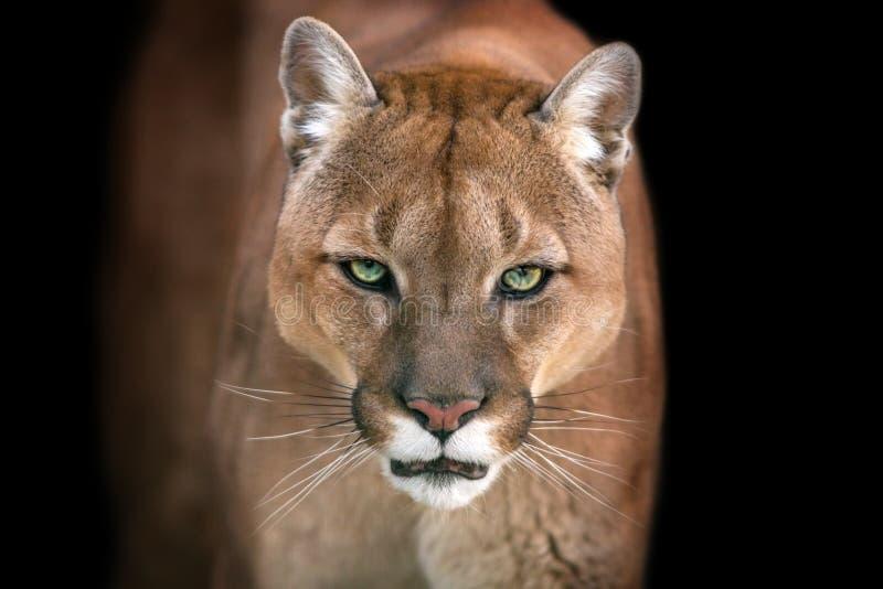 Puma sul nero immagine stock