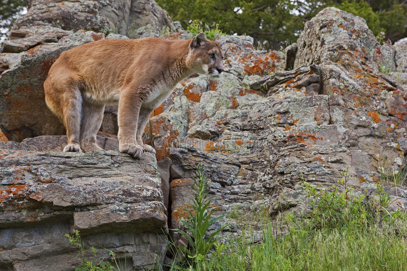 Puma sur l'outcropping photo libre de droits