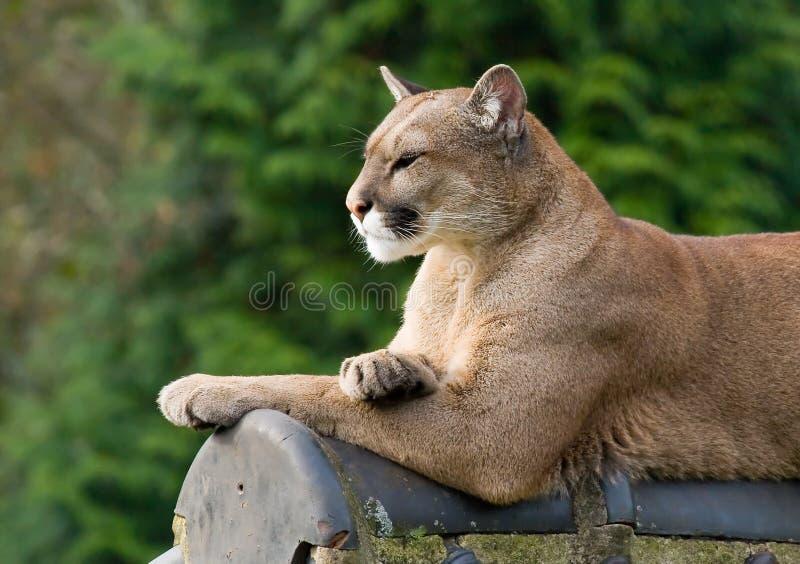 Puma sur un toit image stock