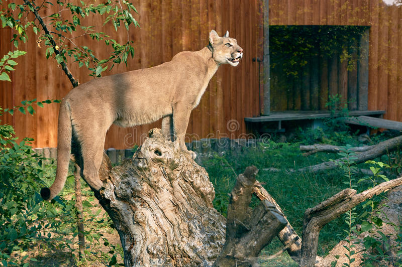 Puma on a tree stump. Puma stands on the stump. zoological garden Rostov-on-Don royalty free stock image