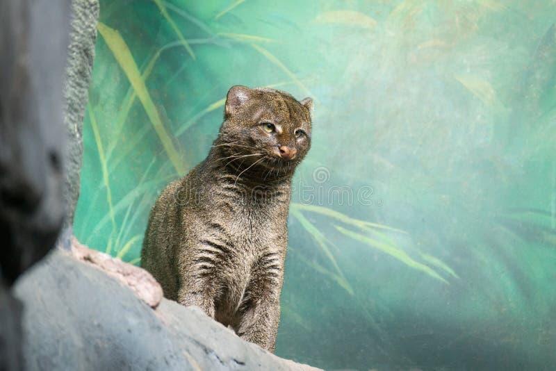 Puma yagouaroundi zoo. Puma yagouaroundi sits on the rocks at the zoo royalty free stock photography